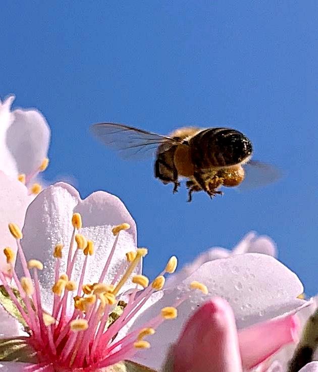 una abeja tomando su nectar de un almendro en Parque Coimbra